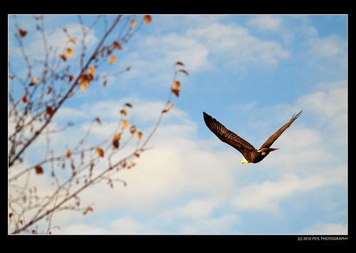 Eagle Away!