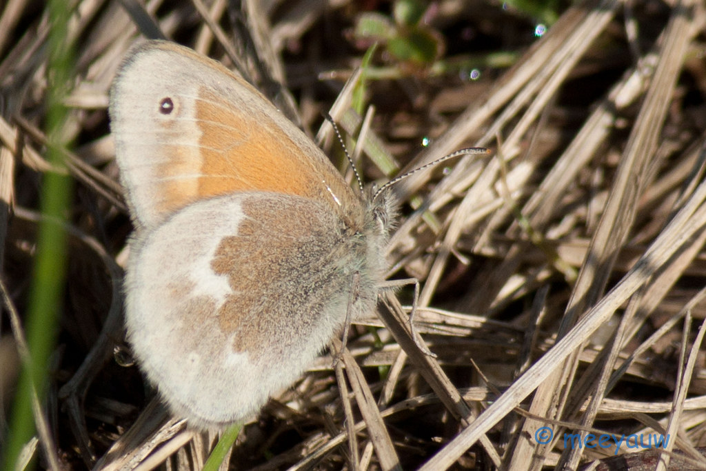 common ringlet butterfly  08.jpg