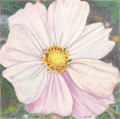 Cosmos, colored pencil