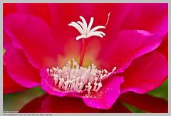 Epiphyllum ackermannii (Red Orchid Cactus) (Nightgoose) Tags: cactaceae epiphyllum damadanoite speedlite580exii nightgoose alexmsouza canonef100mmf28lmacroisusm