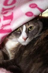 My Baby Girl Shelby Wrapped in Her Pink Kitty Blanket (joanna8555) Tags: pink orange white cute cat grey nc sweet northcarolina blanket shelby purr meow peek hillsborough joanna8555 thejabproj3ct shebbalone