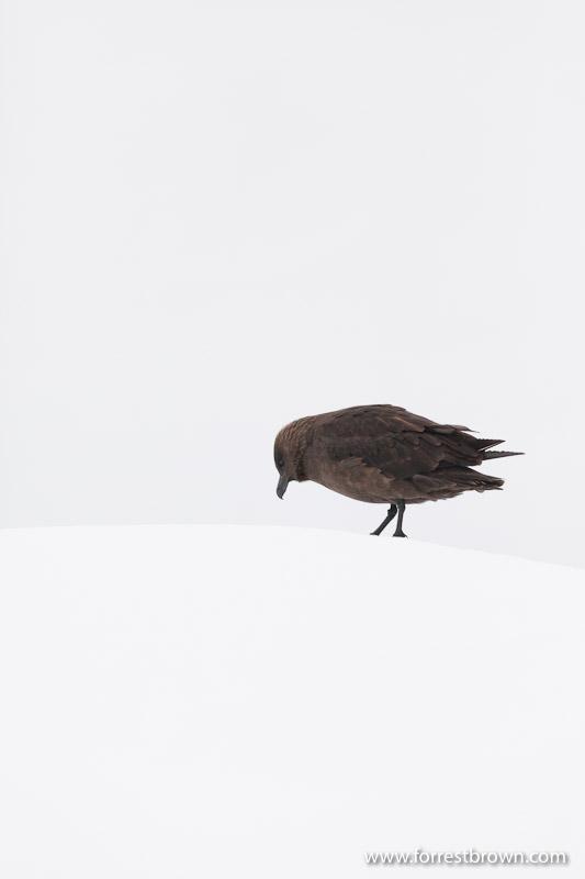 Skua, Antarctica