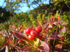 Sunriped Cranberries (Gyopi_K) Tags: blue summer mountains water norway island heart troms sommary skjervy