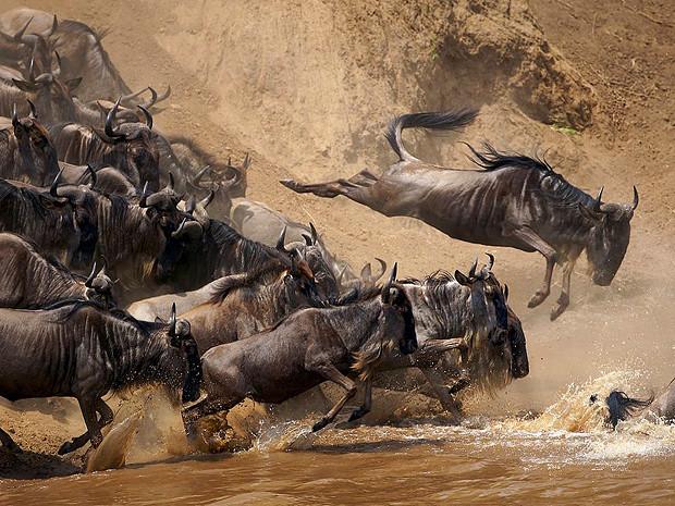 Антилопы гну, Кения