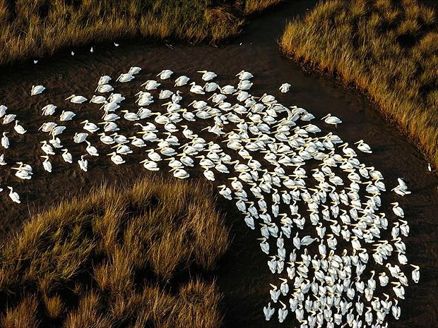 Белые пеликаны, Миссисипи