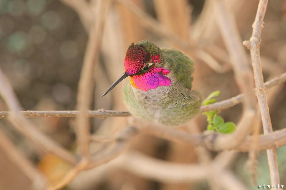 Anna's Hummingbird 121210-3