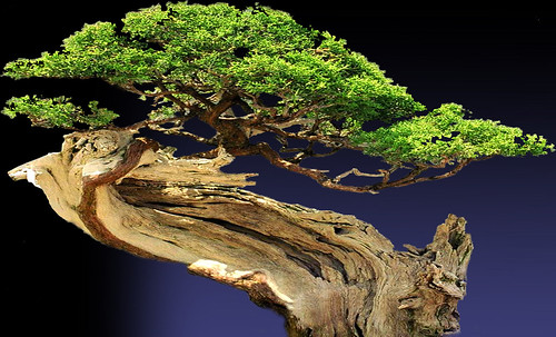 """Bonsai008 • <a style=""""font-size:0.8em;"""" href=""""http://www.flickr.com/photos/30735181@N00/5261953854/"""" target=""""_blank"""">View on Flickr</a>"""
