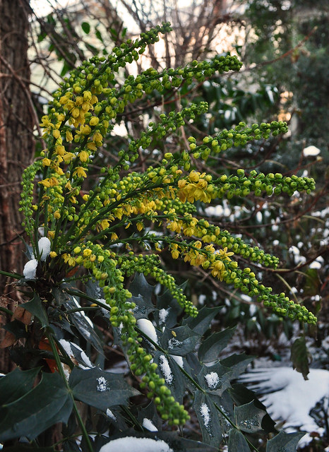 Mahonia x 'Winter Sun'