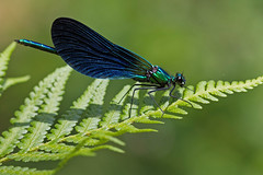 Caloptryx vierge (Calopteryx virgo) Beautiful Demoiselle (Sinkha63) Tags: france macro nature bug dragonfly wildlife prairie damselfly insectes corrze libellule limousin faune beynat insecta beautifuldemoiselle calopteryxvirgo odonates faunesauvage zonehumide zygoptres caloptryxvierge libellulavirgo bestofblinkwinners