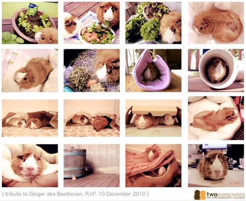guinea pig sydney pet photography copyright twoguineapgs pet photography