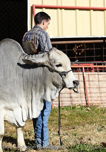 Terrell FFA Holiday Heifer Show-2143