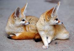 Fennec fox (floridapfe) Tags: two animal zoo nikon korea fox fennec everland fennecfox