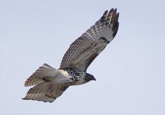 Juvenile Red-tailed Hawk (splinx1) Tags: light sky color bird nature colorado pentax hawk scenic raptor handheld juvenile bif redtailedhawk buteojamaicensis smcpda55300mmf458ed pentaxart