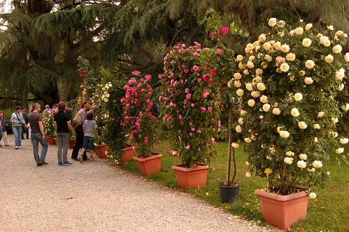 Giardino di rose cespuglio delle rose rosse immagine stock