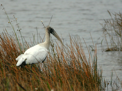 Wood Stork 20101223