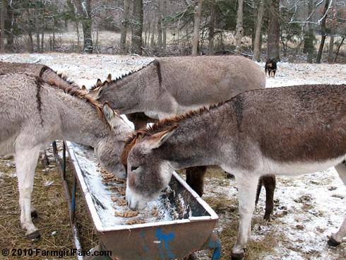 White Christmas Donkeys 2 - Farmgirl Fare