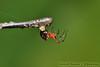 buat sarang (DQuantan) Tags: macro spider nikon web bugs makro gambar kuantan pahang d60 selai serangga labahlabah endaurompin sp90mm tamannegarajohor dquantan npc10 lubuktalah