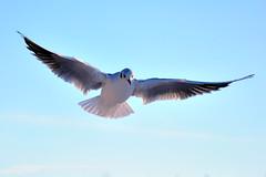 [フリー画像] 動物, 鳥類, カモメ科, カモメ, 201101010500