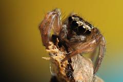 DSC_9611 (rtiii) Tags: macro 35mm spider jumping nikon tube extension reverse d90 68mm f2d