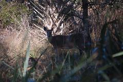 Kissimmee Prairie Deer