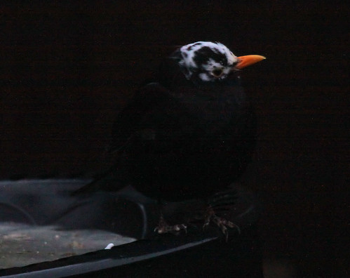 Blackbird with White Head