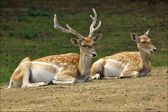 Chital or Axis Deer (Foto Martien) Tags: nepal pakistan india holland netherlands dutch zoo bhutan nederland deer safari srilanka bangladesh safaripark hirsch niederlande jinke noordbrabant hert dierentuin cerf southasia dierenpark cheetal axisdeer hilvarenbeek chital hiran safariparkbeeksebergen spotteddeer axisaxis axishert chitaldeer a550 cervusaxis duppi martienuiterweerd axishirsch pullimaan martienarnhem phutukihorin cerfaxis sony70300gssmlens sonyalpha550 ringexcellence fotomartien chitalhorin thithmuwa