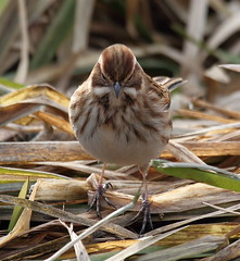 Reed Bunting [Explored] (bojangles_1953) Tags: bird nature canon reeds eos wildlife 7d rspb fairburn reedbunting