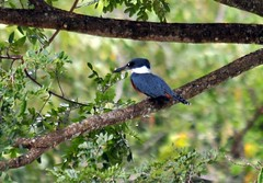 Ringed Kingfisher (Ruthie Kansas) Tags: bird costarica kingfisher birdwatcher ringedkingfisher