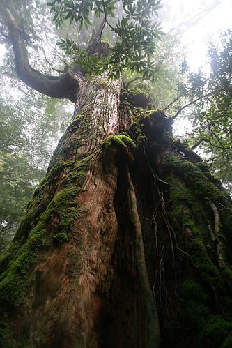 Yakushima Tree - 08