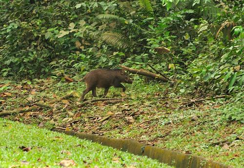 wild boar @Upper Seletar Reservoir DSC_0148