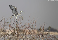 Great Blue Heron (arfromqatar) Tags: qatar    arfromqatar