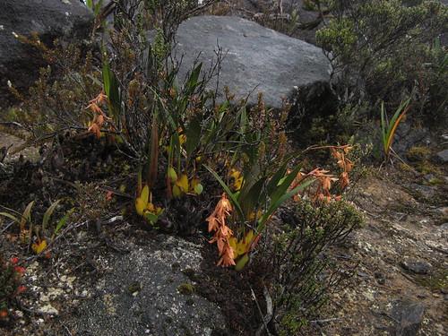 Unknown orchid (Coeloygne sp?)