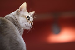 Beauty of looking around (Takashi(aes256)) Tags: animal cat   catcafe nekobukuro canonef85mmf12liiusm  canoneos7d