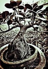 Ficus Bonsai (Vajrasattva) Tags: bonsai ficusbonsai baliti