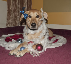 My 2011 Christmas Tree - Addy (Wendy Johnson) Tags: snowflake christmas winter rescue holiday tree dogs puppy decoration sydney dressedup ornaments bow adelaide mansbestfriend addy gooddog rescuedog gussiedup itsadogslife williamwegman wendykjohnson