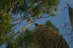 2008-12-20 birds_24 (Christandl) Tags: animal fauna tiere australia brisbane queensland australien aus downunder tier buderim goldcoast tierwelt