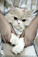Hi Tommy :P (Bent e Shj) Tags: cute animal cat tommy e bent shj قطوة حيوان قط قطو