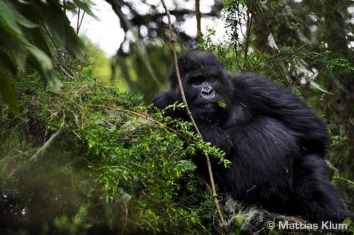 mountain_gorilla_Rwanda