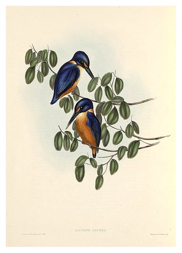 015-Alcyone Azurea-The Birds of Australia  1848-John Gould- National Library of Australia Digital Collections