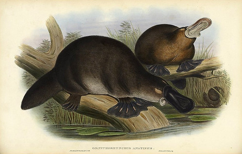 001-Ornitorrinco Anatinus-The mammals of Australia 1863-John Gould- National Library of Australia Digital Collections