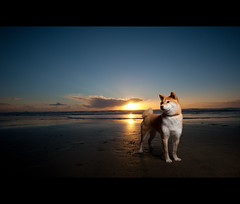 Good Night (kaoni701) Tags: sf sanfrancisco sunset portrait dog cute beach night japanese dusk oceanbeach suki shibainu vr 2010 shibaken  52weeks strobist d700 sb900 1635f4