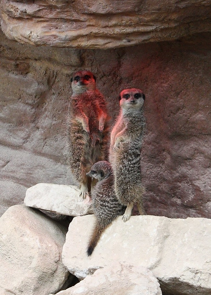 Meerkat Family Portrait