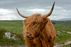 The Beast of Rannoch Moor (Alf's Work) Tags: house west animal way hotel cow highland kings rannoch welcomeuk