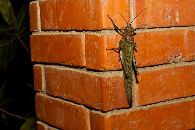 Giant Grasshopper (Tropidacris dux)