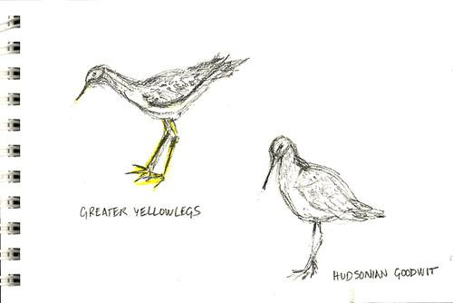 Greater Yellowlegs, Hudsonian Goodwit