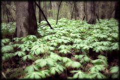 May Apple Forest (davidphoto23) Tags: trees green forest canon arkansas hdr northlittlerock burnspark mayapple podophyllumpeltatum ef28135mmf3556isusm 5dmk2
