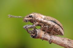 Sitona weevil (Rundstedt B. Rovillos) Tags: macro bug insect beetle queensland reverselens macrophotography strathpine nikkor1855mm sooc straightoutofcamera diyflashdiffuser nikond300 rundstedtbrovillos onehandmacroshootmethod kfcflashdiffuser sitonaweevil