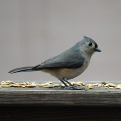 Tufted titmouse, again
