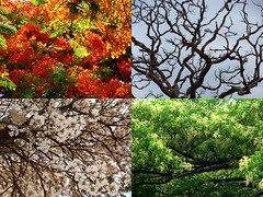 4 Seasons in 1 (osvaldoeaf) Tags: flowers autumn winter red summer brazil white tree nature leaves collage petals spring seasons blossoms cerrado goinia gois poinciana wonderfulworldofflowers