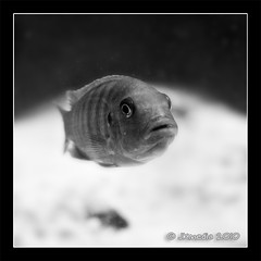 Sad Fish (JKmedia) Tags: bw fish eye nature square blackwhite underwater dof sad wildlife grain pout shallow noise gills marwellzoo canoneos40d 15challengeswinner jkmedia